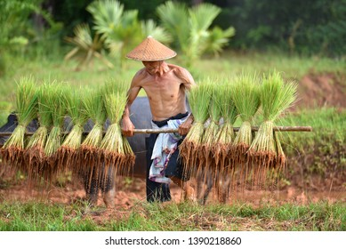 2e17af3fc The way of life of Asian people in rural areas, Vietnamese farmers carrying  rice seedlings