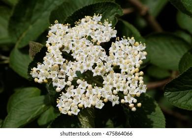 Wayfaring Tree ( Viburnum lantana ) - Bloom