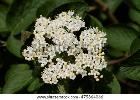 Wayfaring Tree ( Viburnum lantana ) - Bloom