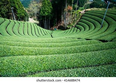 Wazuka tea field,kyoto,tourism of japan
