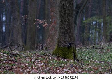 Dzięcioł wczesnym rankiem w lesie, siedzący na pniu drzewa. (Dendrocopos major) - Shutterstock ID 1958292196