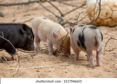 We are the mini pigs