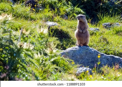 We see a curious Murmeltier (marmot) near the beautiful place of Fuorcla Surlej in the Swiss mountains in the canton of Graubunden.