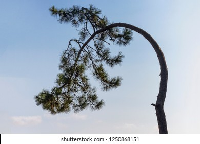 Weak bent pine tree bowing with the crown down