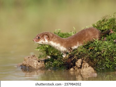 Weasel by water