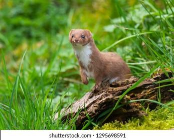 Weasel or Least weasel (mustela nivalis)