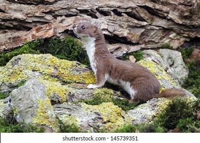 Weasel, Mustela nivalis, single mammal, captive, Midlands, September 2011