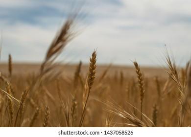 Weat field in summer tranquility