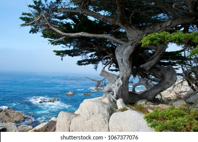 Weathered pine on the pacific coast near Monterey California