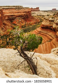 A weathered Utah Juniper, Juniperus Osteosperma, with the Orange colored sandstone cliffs of Coppermil Canyon in the background, Moab, Uthah, USA