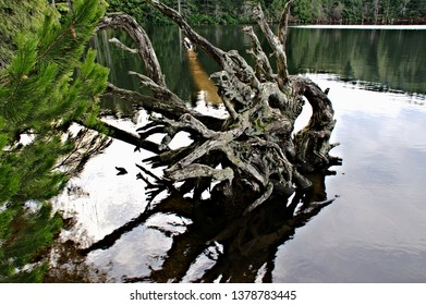 Weathered wood of a rootstock captured in a closeup  image with individual roots emerging out of the calm waters of a lake near the shoreline with some fresh green foliage and reflections in the water