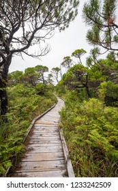 Weathered wooden boardwalk through the stunted and twisted lodgepole pine trees along the Shorepine Bog Trail near Tofino and Pacific Rim National Park on the west coast of Vancouver Island, Canada