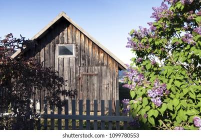 Weathered wooden boathouse at seaside, lilac flowering at spring. Estonia, Europe.