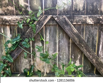 Weathered wooden fence with a green vine growing up it. Useful as a background pattern or texture.