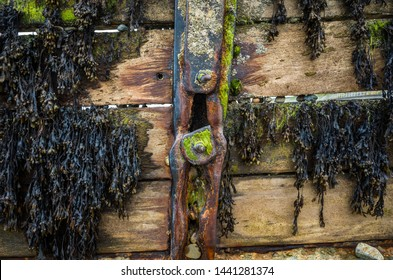 Weathered Wooden sea groyne with Rusty Bolts and seaweed background.