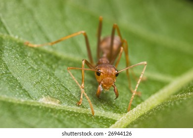 Weaver Ant angry face macro