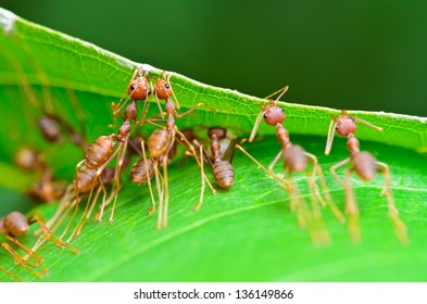 Weaver Ant or Green Ant (Oecophylla Smaragdina), Close up of small insect working together to build nest using the mouth and leg to grip the leaf together. Miraculous teamwork of animals in nature