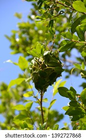 weaver ant nest in a tree in Australia