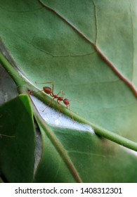 A weaver ant (Oecophylla smaragdina) standing on a leaf watching its surroundings