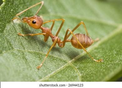 Weaver Ant on green leaf