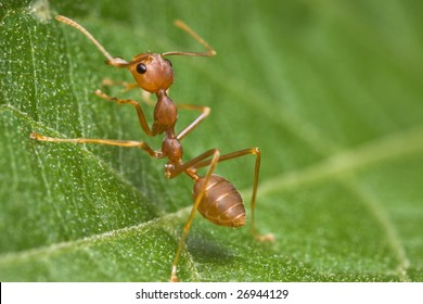 Weaver Ant side view