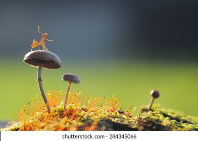 A Weaver Ant Want to jump from a mushroom with green and black background