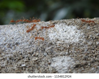 Weaver ant(Oecophylla smaragdina) Close up looking