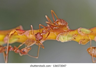 Weaver ants and aphids on the tree branch