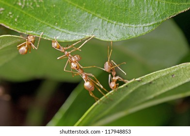 weaver ants are building a nest from joining tree leafs