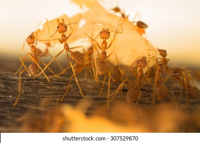 Weaver Ants carrying left over food to their nest.