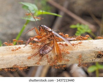 Weaver ants or green ants (Oecophylla) hunting a cockroach, a group of green ants taking a cockroach on dry branch to the nest.