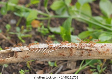 Weaver ants or green ants (Oecophylla) hunting a fish bone, a group of green ants taking a fish bone to the nest.