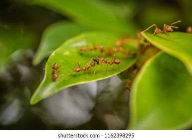 Weaver Ants or Green Ants Oecophylla smaragdina are eating together to building a nest in Thailand