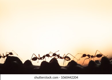 Weaver ants or green ants walking and transmit social signals on the branch. Spring season. Orange transparent ant. Close-up. Sun background, silhouette.