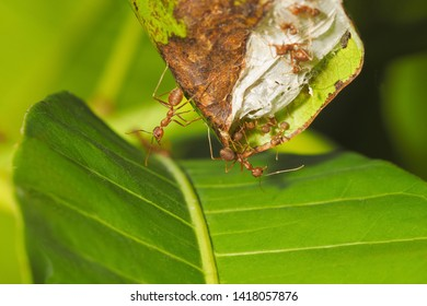 Weaver ants (Oecophylla smaragdina) or Green Ants major worker guarding the nest with green nature blurred background.