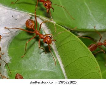 Weaver ants (Oecophylla smaragdina) protecting their nest on mango tree (Udonthani, Thailand)