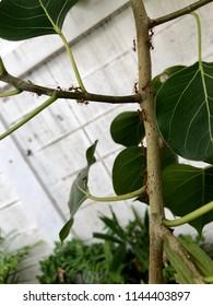 Weaver ants is on bodhi tree