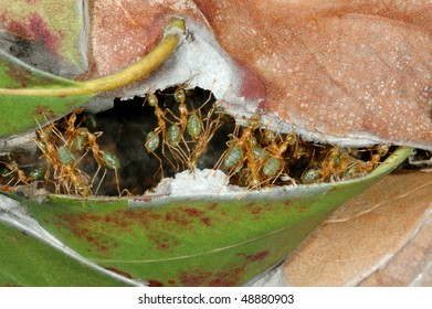 Weaver Ants repairing their nest in the Australian outback