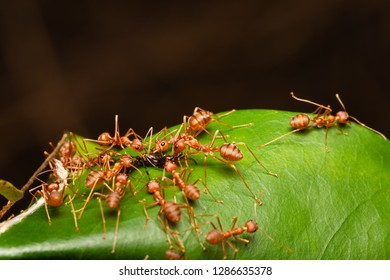 weaver ants teamwork biting a red imported fire ant on their nest/oecophylla smaragdina
