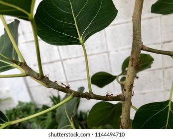 Weaver ants is working on bodhi tree