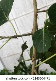 Weaver ants working on bodhi tree