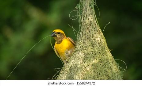 A weaver bird building her nest, close shot