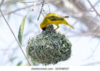Weaver Bird, building nest. Seen during safari tour at Namibia, Africa.