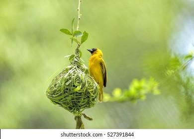Weaver bird (weaver finches) building nest