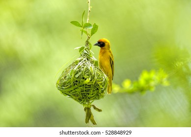 Weaver bird (weaver finches) building nest