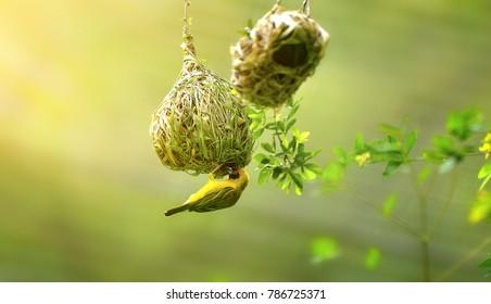 Weaver bird (weaver finches) building nest, selective focus.