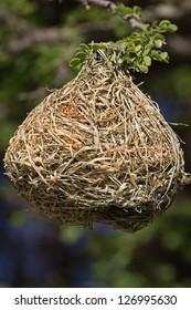 Weaver bird nest