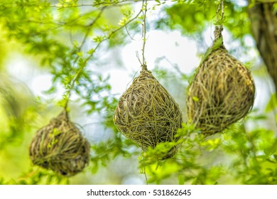 Weaver bird nest at a branch of the tree