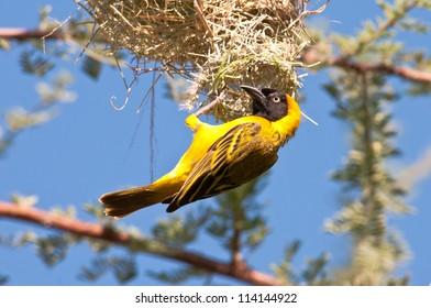 Weaver constructing nest, Ruaha National Park, Tanzania.