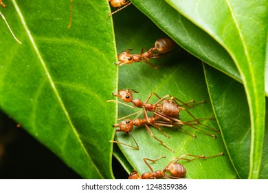 weaver red ant teamworks building their nest/pulling leaf edges by strong mandible